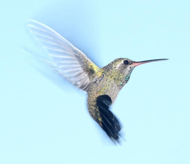 hummingbird-flying-portrait-wildlife
