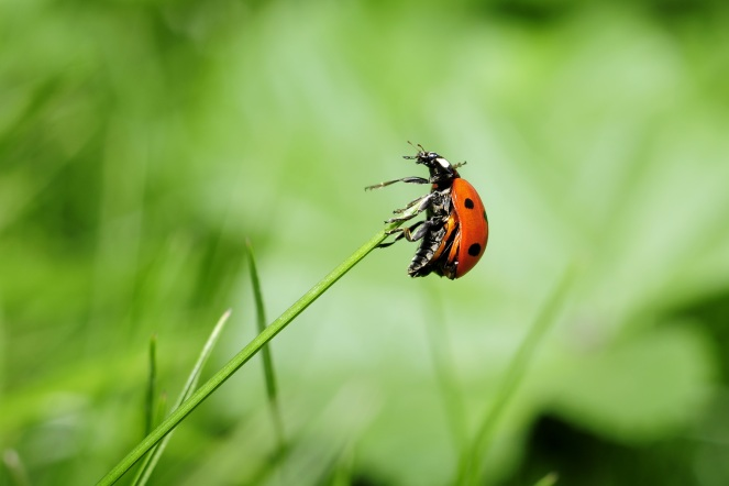 ladybug-insect-nature-meadow