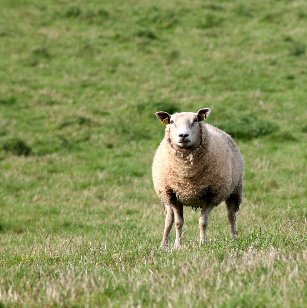 single sheep in grassy field looking at the camera