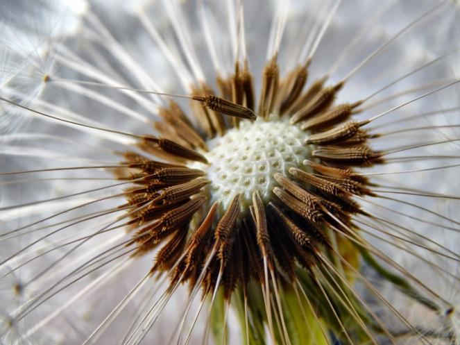 dandelion-seeds-flower-garden-51338