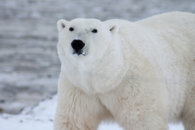 polar-bear-arctic-wildlife-snow-53425