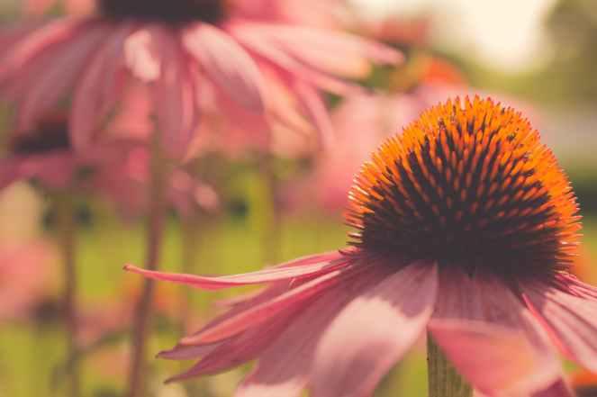 closeup photography of pink coneflower