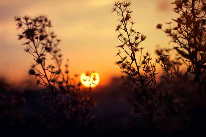 silhouette of flowers at sunset